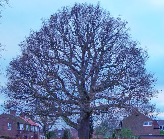Two large Oak trees